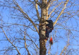 сколько стоит спилить дерево